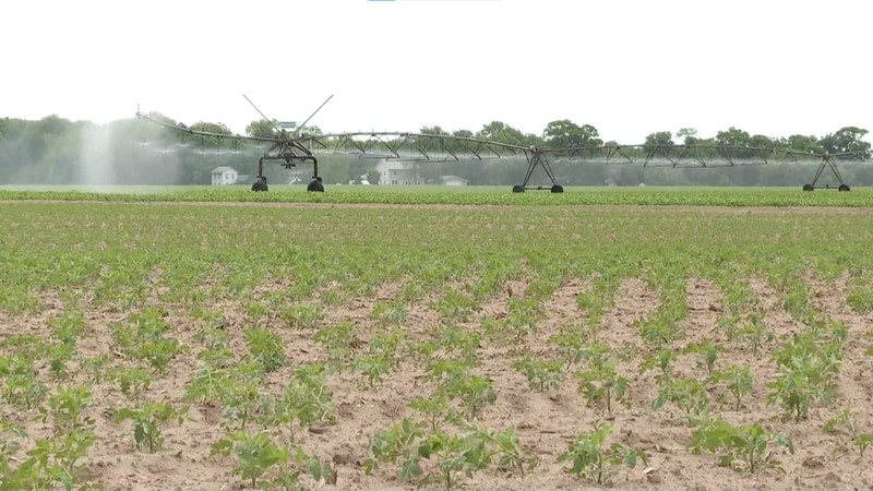 Farmers watering crops in an effort to offset high temperatures drying out soil
