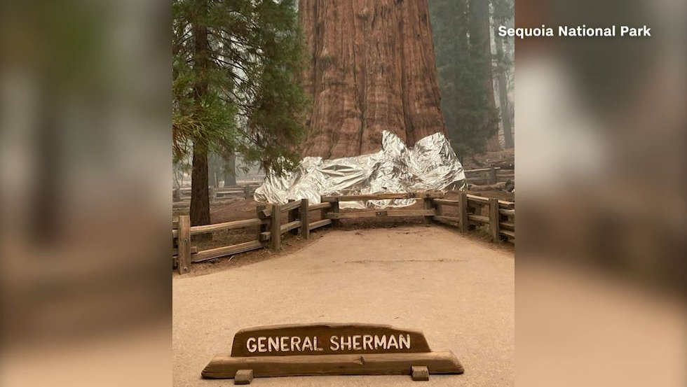 Foil has been wrapped around world's largest tree to protect it from a growing wildfire in...