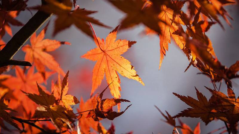 FILE — The City of North Mankato says it expects to begin its fall leaf collection Wednesday,...