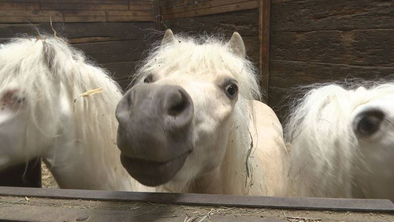 Three years ago, Animal Humane Society seized 72 horses from an individual, citing neglect....