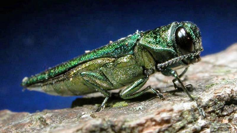 In an undated photo provided by the Minnesota Department of Natural Resources, an adult emerald...