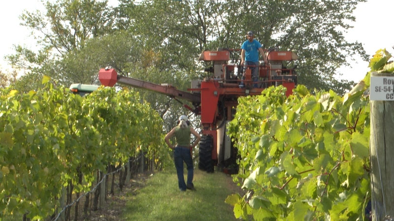 Chankaska Creek Ranch and Winery is in the very last stages of the harvest.