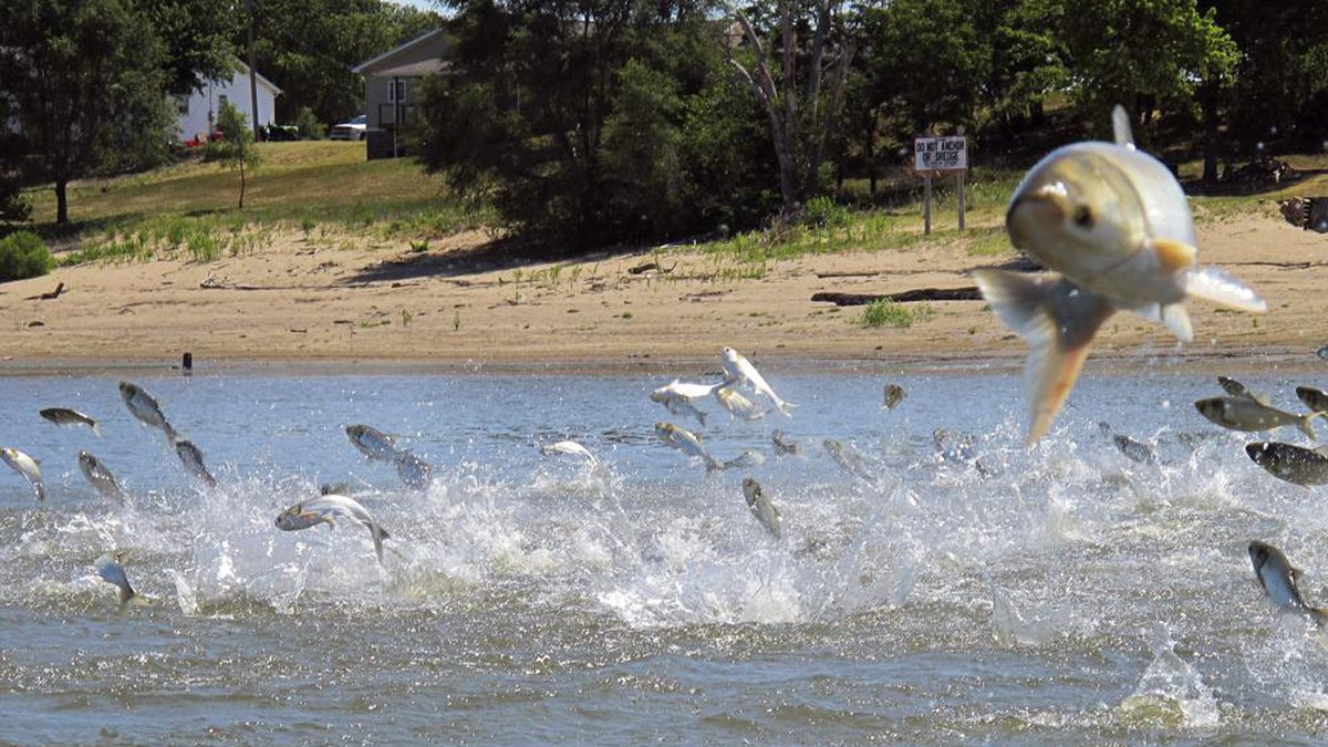 FILE - In this June 13, 2012, file photo, Asian carp, jolted by an electric current from a...