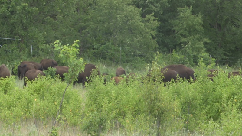 Bison are pictured Thursday, June 24, 2021, at Minneopa State Park in Mankato, Minn.
